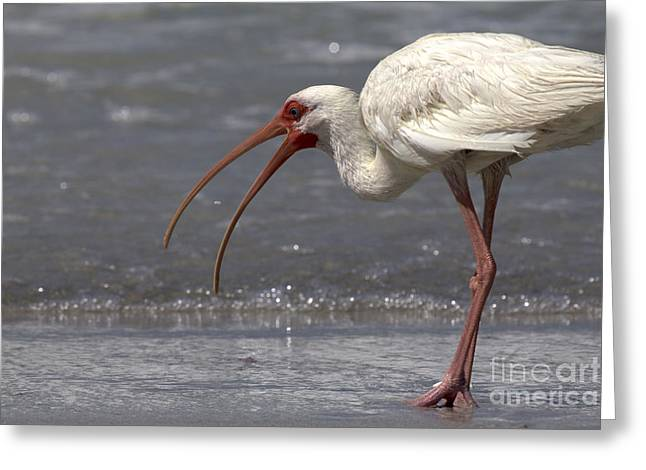 Greeting Card featuring the photograph White Ibis On The Beach by Meg Rousher
