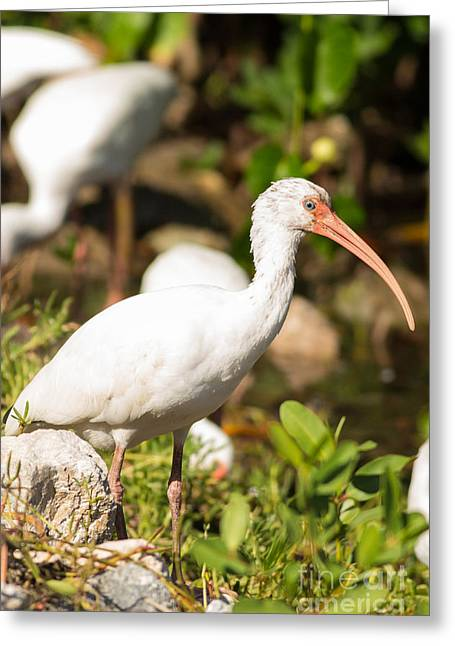 White Ibis On The Hunt Greeting Card