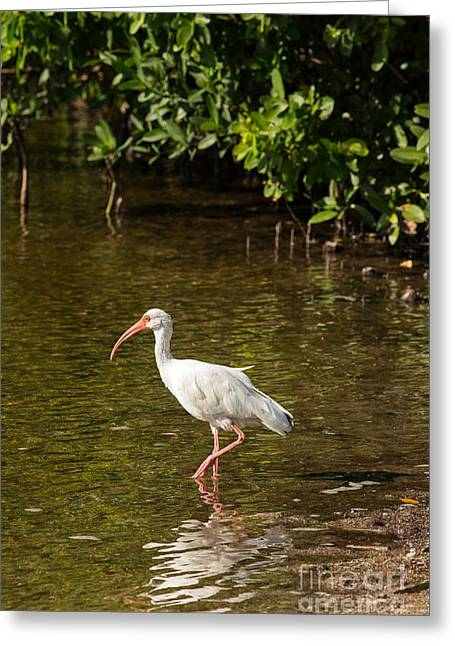 White Ibis On The Water Greeting Card
