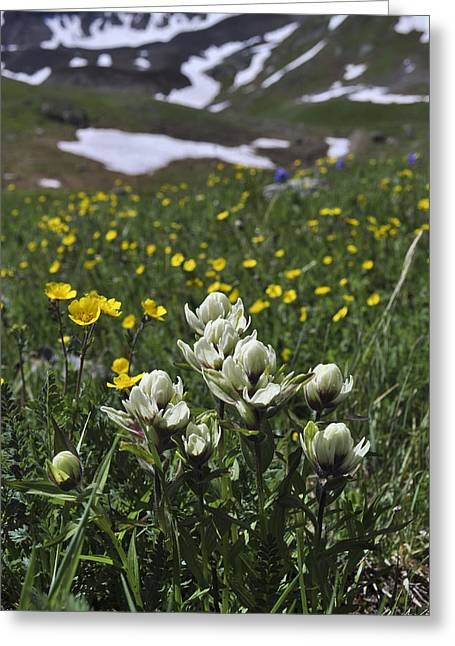 White Indian Paintbrushes Greeting Card