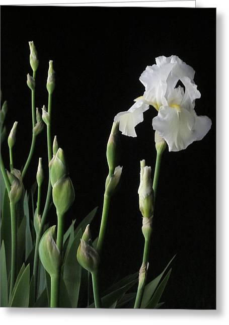 White Iris In Black Of Night Greeting Card by Guy Ricketts
