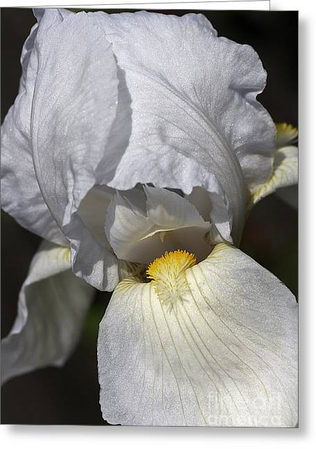 Greeting Card featuring the photograph White Iris by Joy Watson
