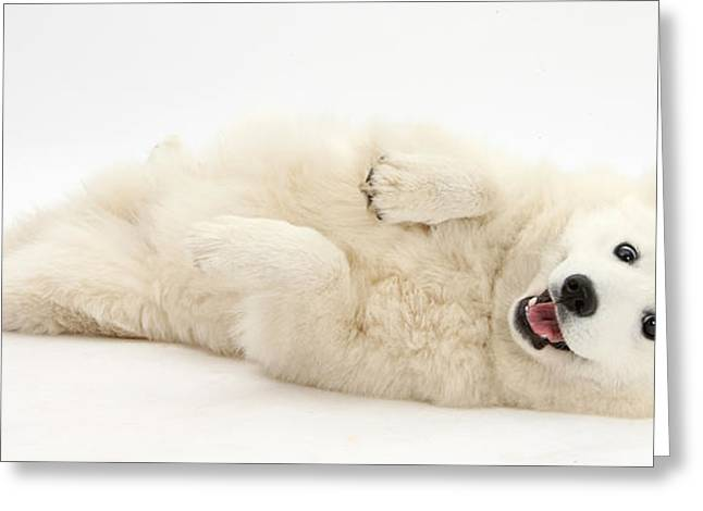 White Japanese Spitz Dog Greeting Card