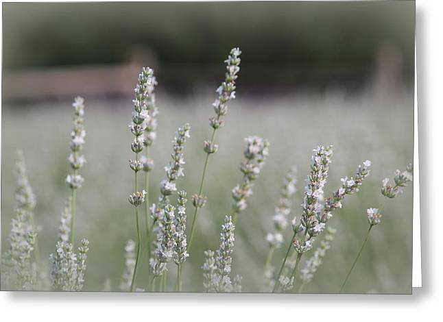 Greeting Card featuring the photograph White Lavender by Lynn Sprowl