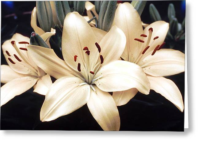 White Lily Beauty Greeting Card