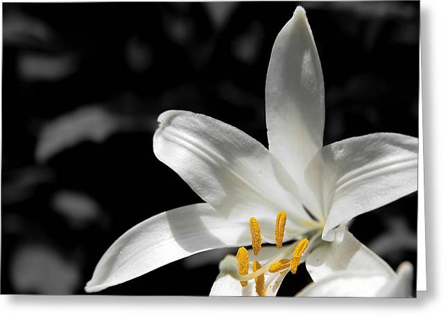 White Lily With Yellow Stamens Against Dark Background Greeting Card