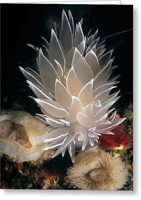 White-lined Dirona Nudibranch Greeting Card