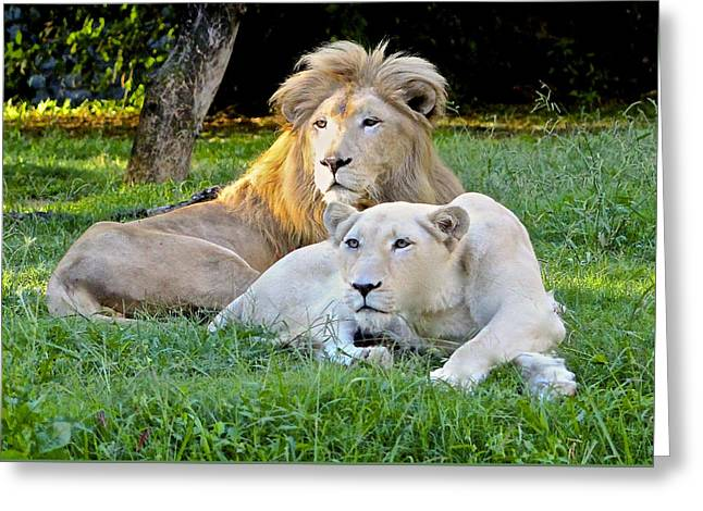 White Lion And Lioness Greeting Card by Venetia Featherstone-Witty