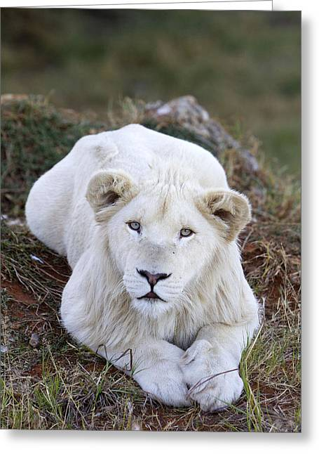 White Lion Cub Greeting Card by M. Watson