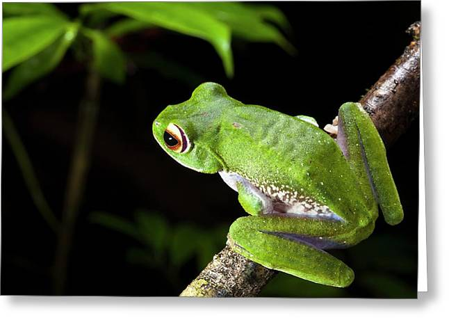White-lipped Bright-eyed Frog Greeting Card by Alex Hyde