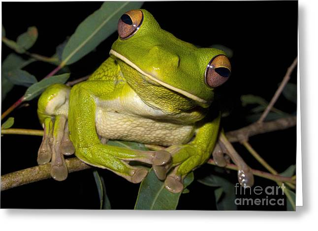 White-lipped Green Tree Frog Greeting Card