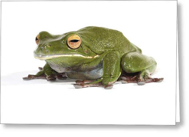 White-lipped Tree Frog Greeting Card by Science Photo Library