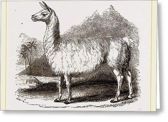 White Llama Greeting Card by Litz Collection
