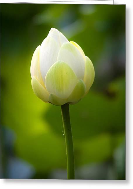 White Lotus Bud Greeting Card by Jeff Mollman