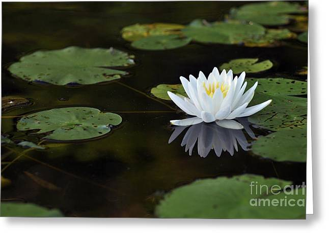 Greeting Card featuring the photograph White Lotus Lily Flower And Lily Pad by Glenn Gordon