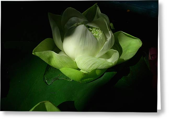 White Lotus Unfolding Greeting Card