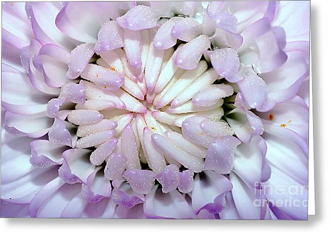 White Mauve Miniature Dahlia - Close Up Greeting Card