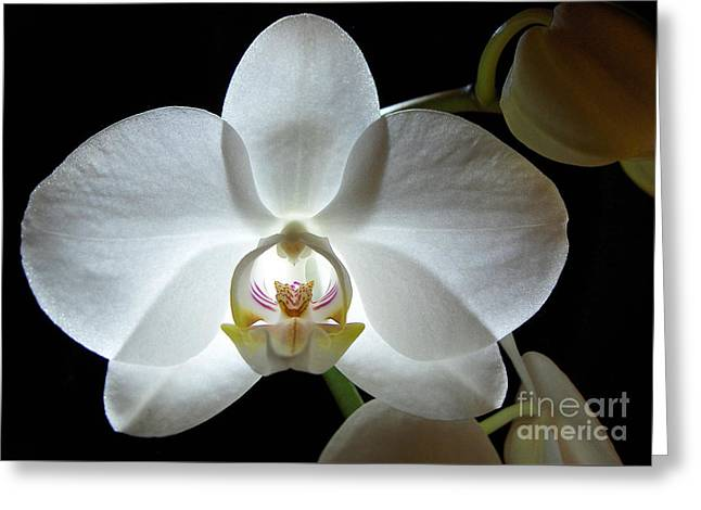 White Moon Orchid Greeting Card
