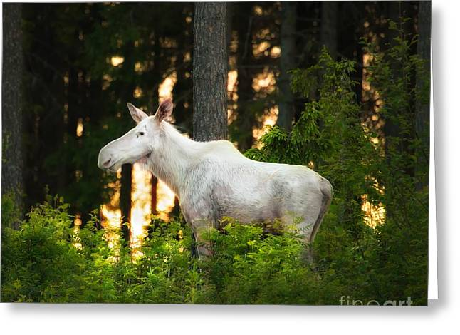 Greeting Card featuring the photograph White Moose In Sunset by Rose-Maries Pictures