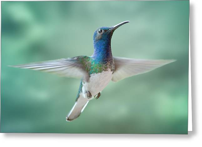 White-necked Jacobin Greeting Card