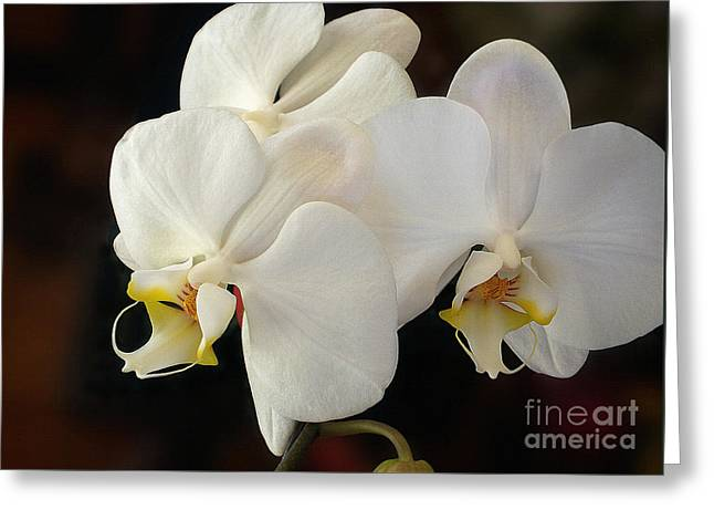 White Orchid - Doritaenopsis Orchid Greeting Card by Kaye Menner