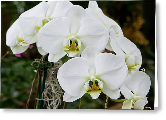 White Orchids 2 Greeting Card by Timothy Blair