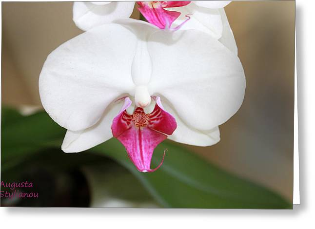 white Orchids  Greeting Card by Augusta Stylianou