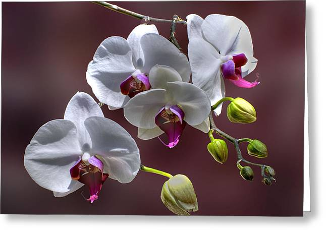 White Orchids Greeting Card by Bob Mulligan