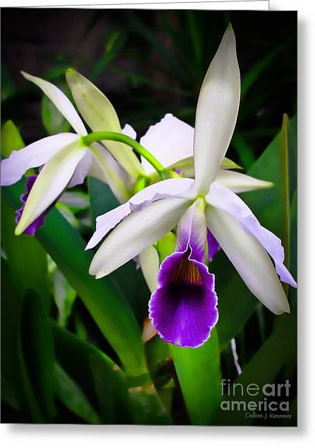 White Orchids Greeting Card by Colleen Kammerer
