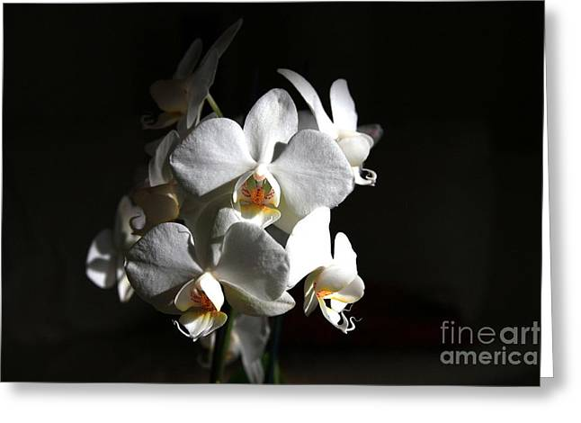 Greeting Card featuring the photograph White Orchids by Jeremy Hayden