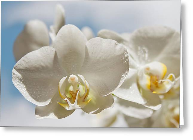White Orchids - Messengers Of Light Greeting Card