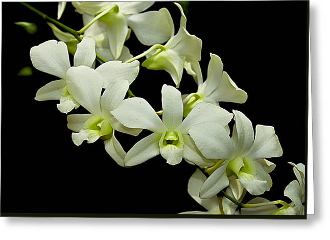 White Orchids Greeting Card by Swank Photography