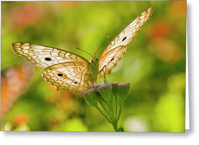 White Peacock (anartia Jatrophae Greeting Card by Larry Ditto