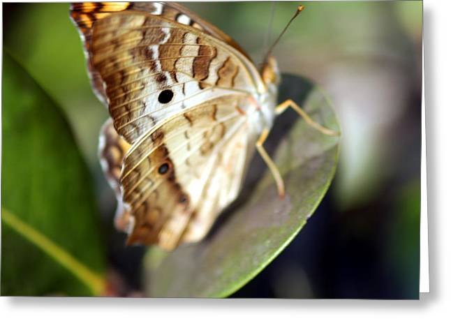 Greeting Card featuring the photograph White Peacock Butterfly by Greg Allore