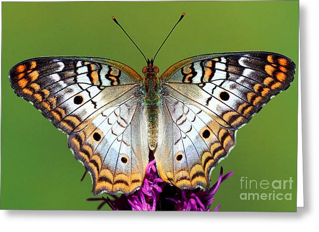 White Peacock Butterfly Greeting Card by Millard H. Sharp