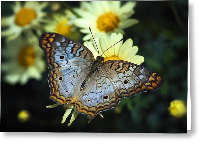 White Peacock Butterfly On A Daisy Greeting Card by Saija  Lehtonen