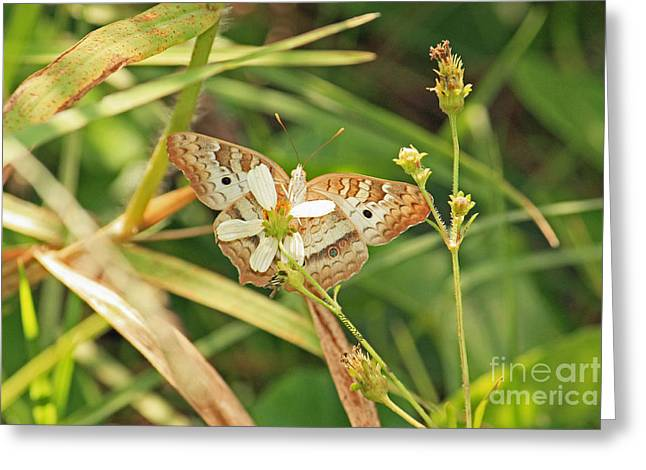 White Peacock Butterfly On Wild Daisy Greeting Card