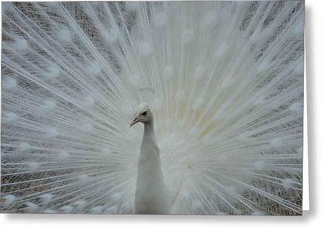 White Peacock Greeting Card by T C Brown