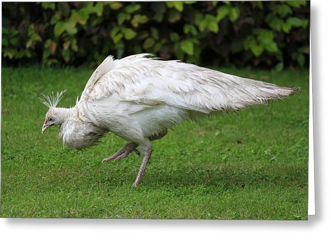 White Peafowl Greeting Card by Nicholas Miller