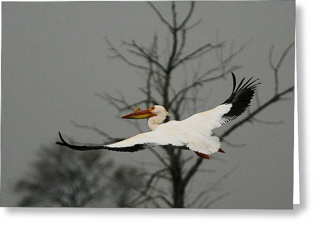 White Pelican Flight Greeting Card