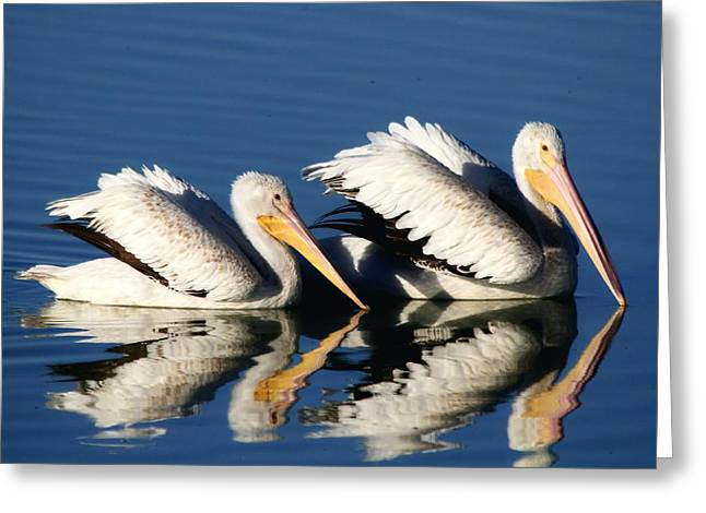 White Pelican Pair Greeting Card