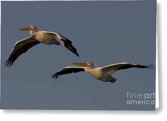 Greeting Card featuring the photograph White Pelican Photograph by Meg Rousher