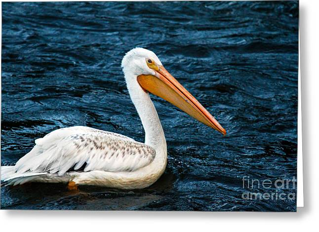 White Pelican Portrait Greeting Card by Robert Bales