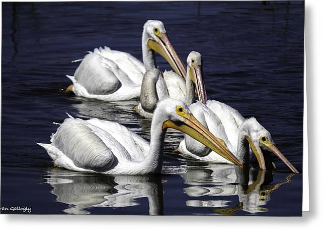 White Pelicans Fishing Greeting Card