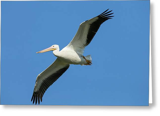 White Pelicans In Flight, Pelecanus Greeting Card by Maresa Pryor