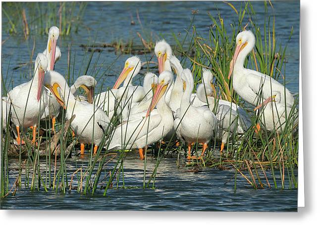 White Pelicans Resting Among Greeting Card by Maresa Pryor