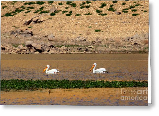 White Pelicans Greeting Card by Robert Bales