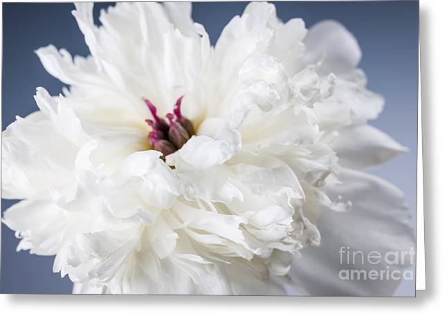 White Peony Flower  Greeting Card by Elena Elisseeva