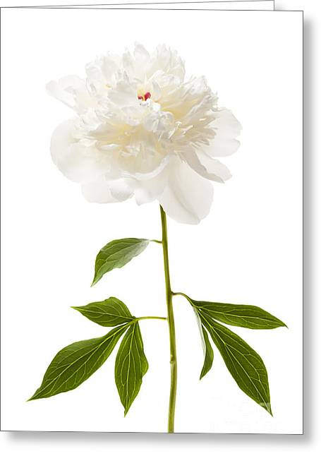 White Peony Flower On White Greeting Card