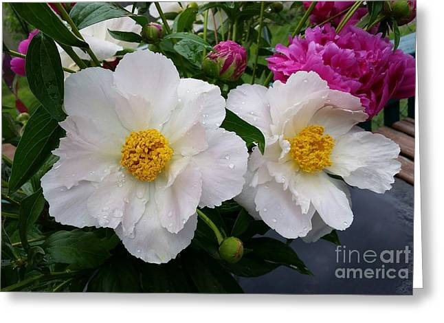 Greeting Card featuring the photograph White Peony Flower by Rose Wang